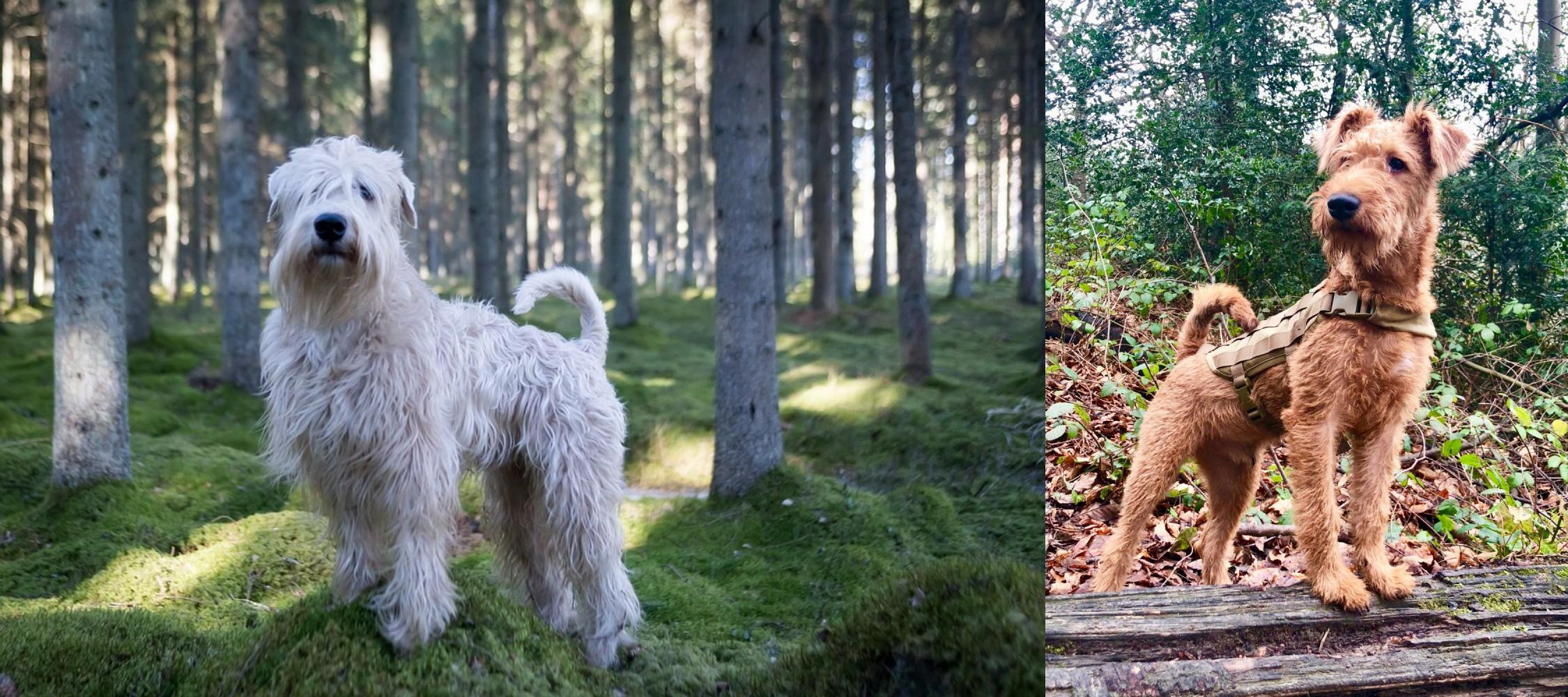 Soft Coated Wheaten Terrier Vs Irish