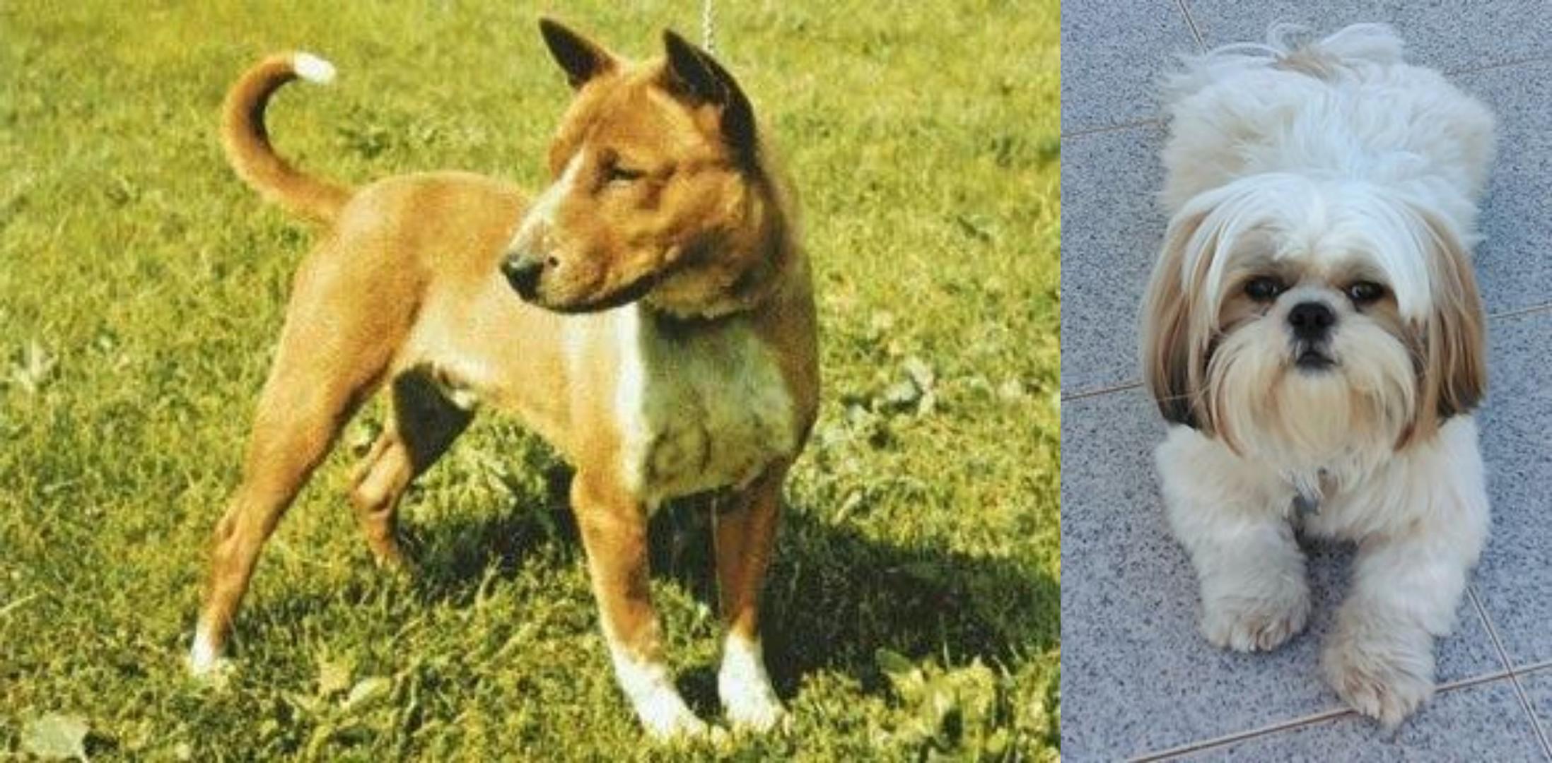 Telomian Vs Shih Tzu Breed Comparison Mydogbreeds