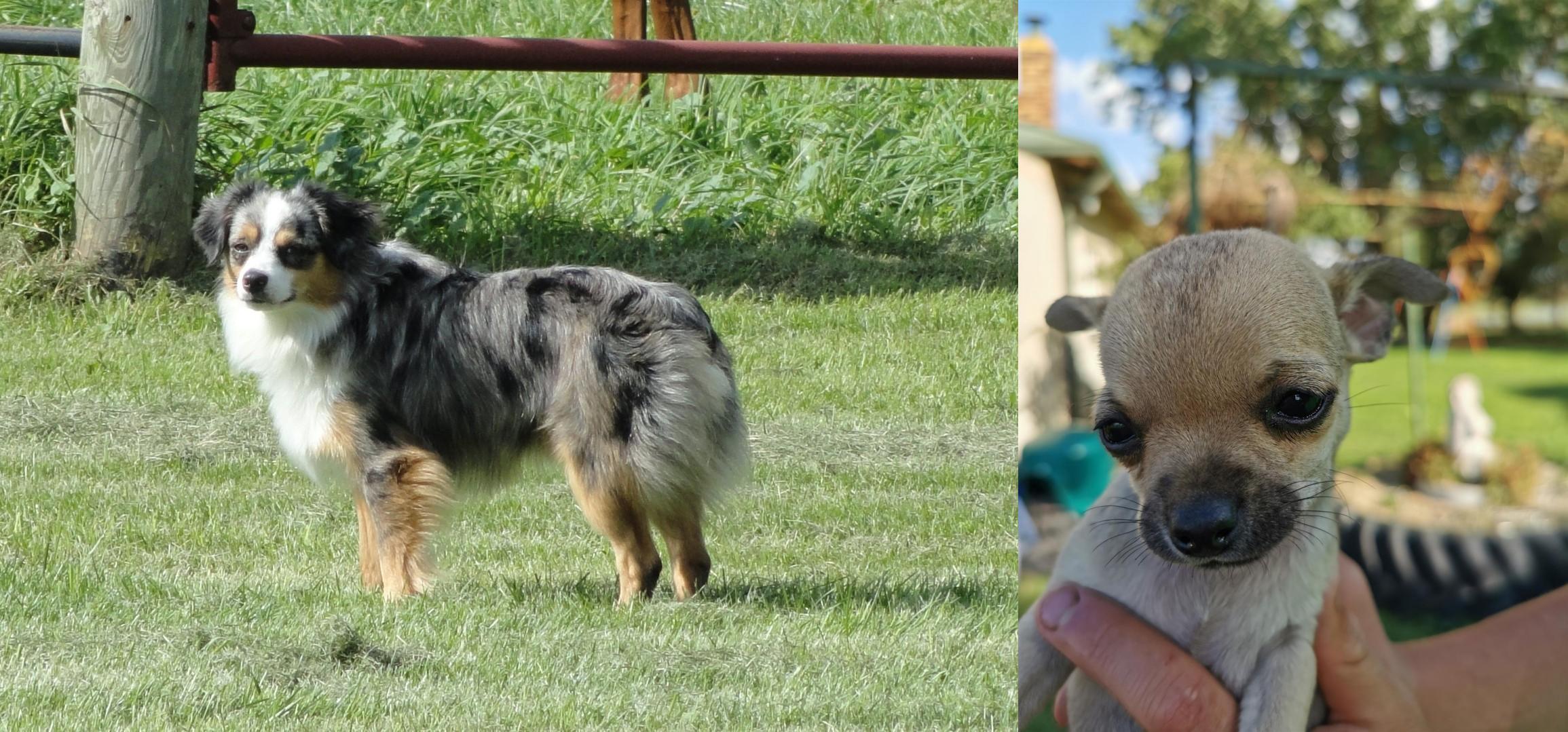 Toy Australian Shepherd Vs Chihuahua