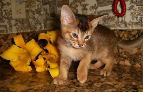 Abyssinian Cat For Sale Iowa