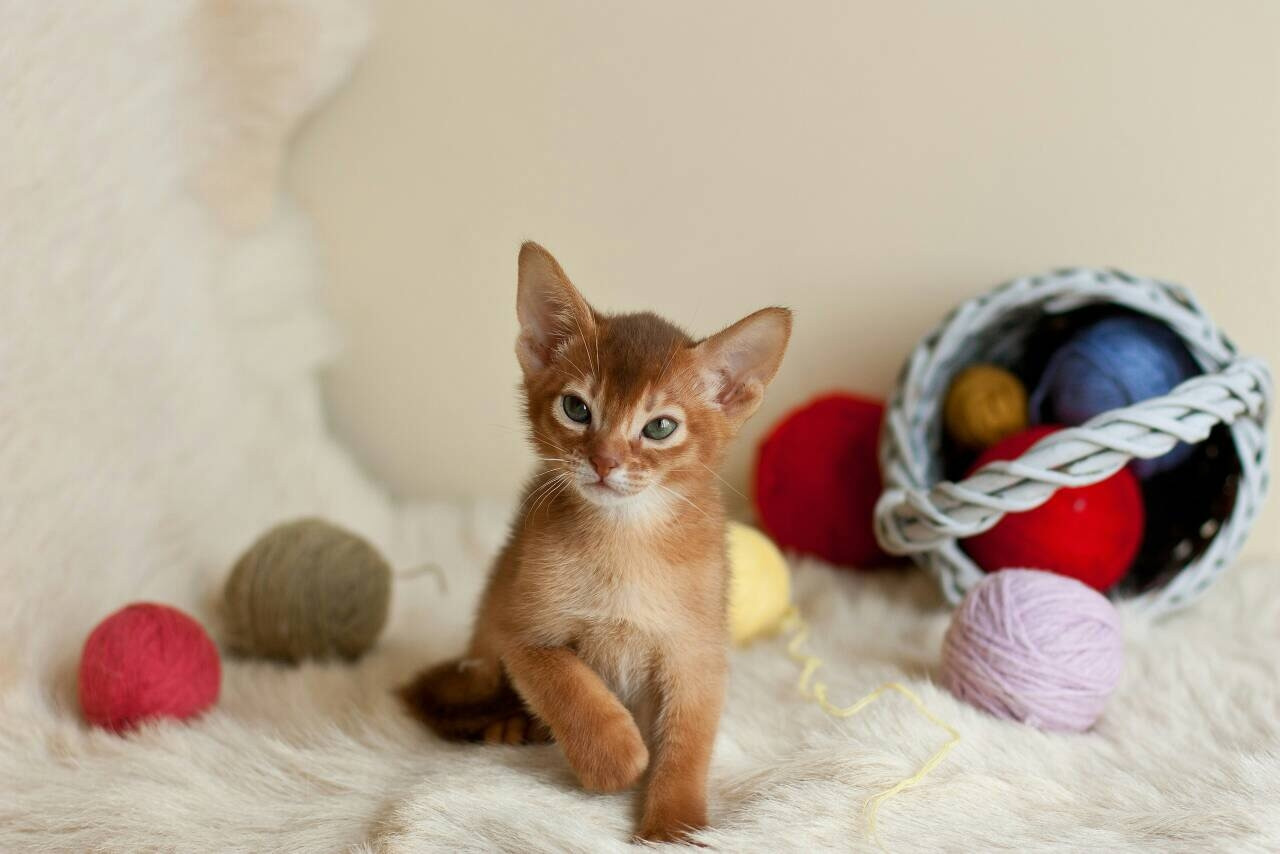 Abyssinian Cat For Sale Ohio