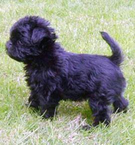 Affenpinscher Puppies For Sale Carlsbad Ca 108111