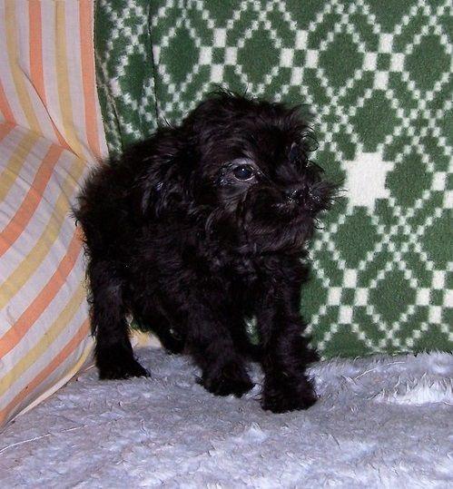 Affenpinscher Puppies For Sale Seattle Wa 177597