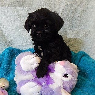 Affenpinscher Puppies For Sale Detroit Mi 200606