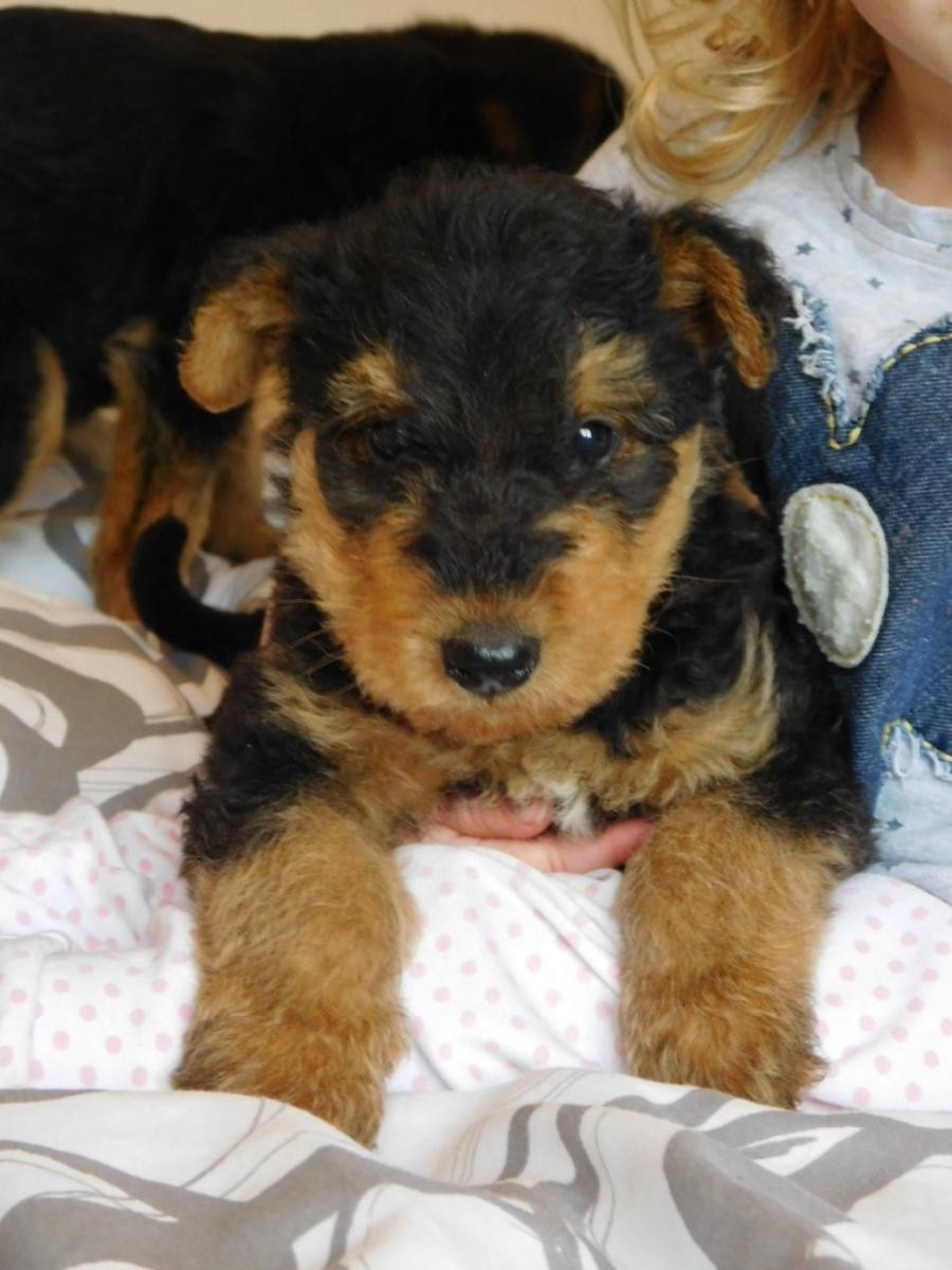Airedales from large working lines Rare red Airedales and blacks as well as blacktans Our Airedale Terriers work with us Pups ready now