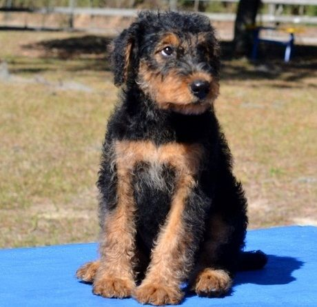 Airedale Terrier Puppies For Sale California Street Ca 201961