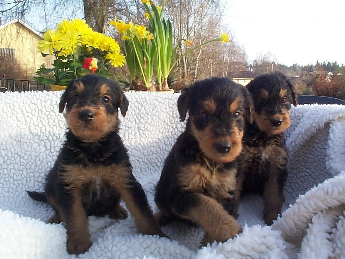 Airedale Terrier Puppies For Sale   Pittsburgh, PA #222094