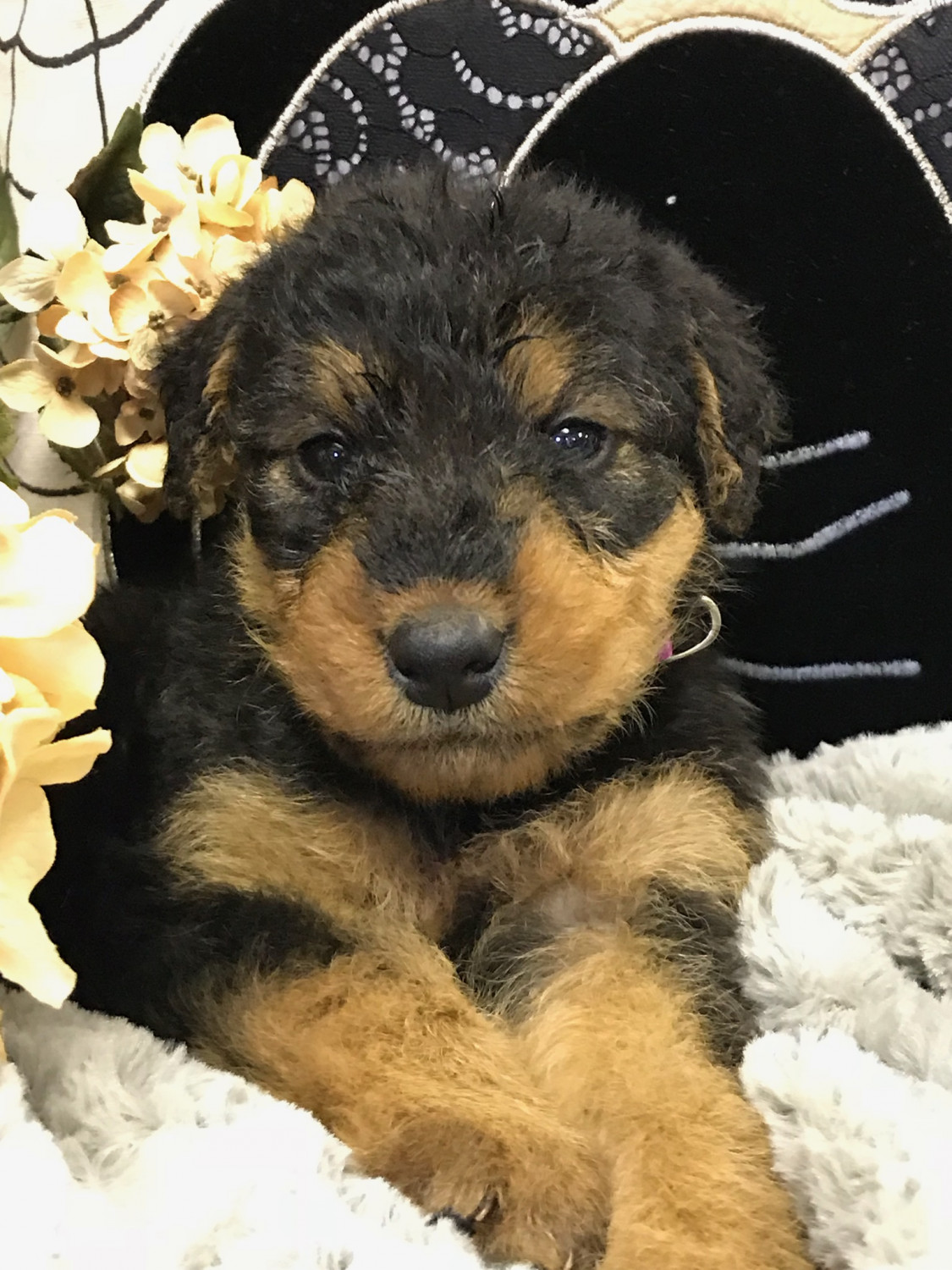Airedale Terrier Puppies For Sale Worthington Mn 286896
