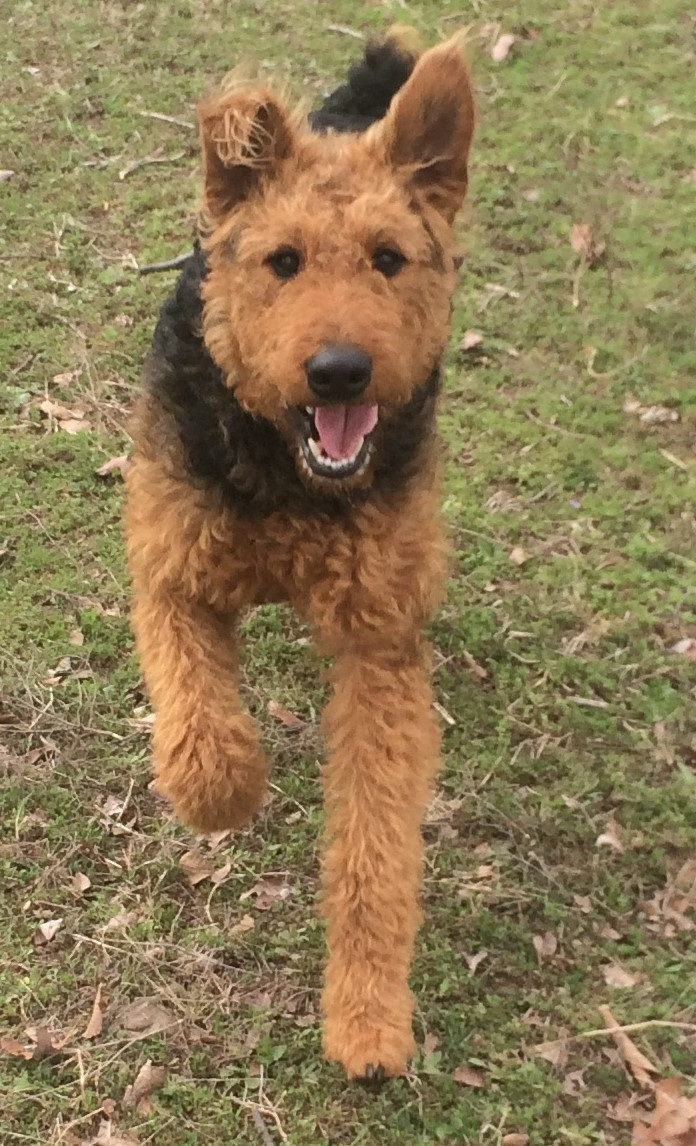Airedale Terrier Puppies For