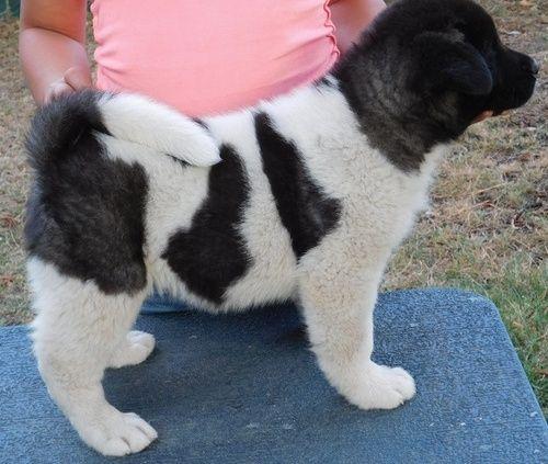 Akita Puppies For Sale Farmingdale Me 248282 Petzlover