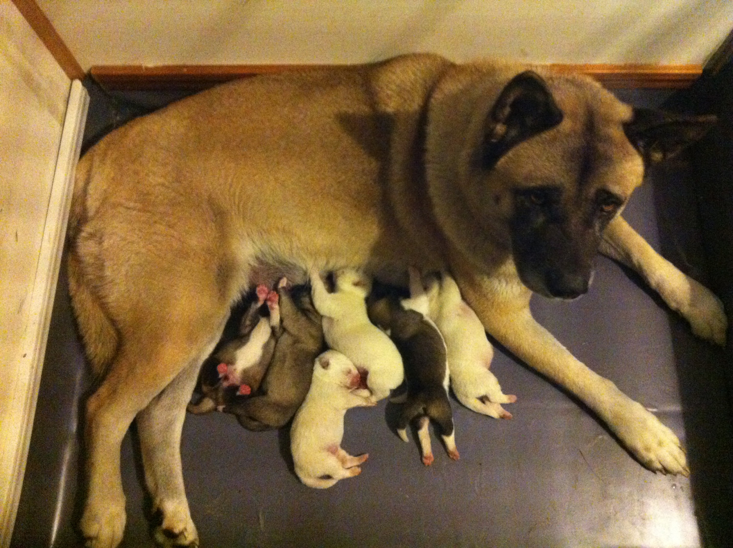 Akita Puppies For Sale Hubert Nc 251541 Petzlover