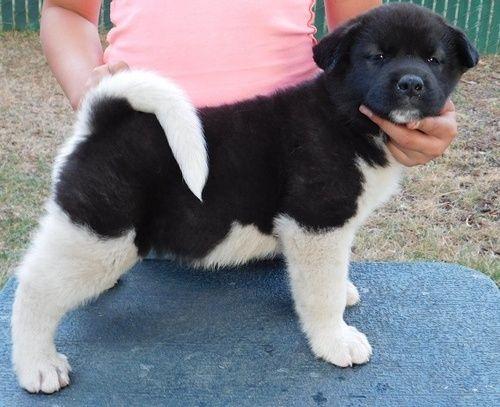 Akita Puppies For Sale Jersey City Nj 259256 Petzlover