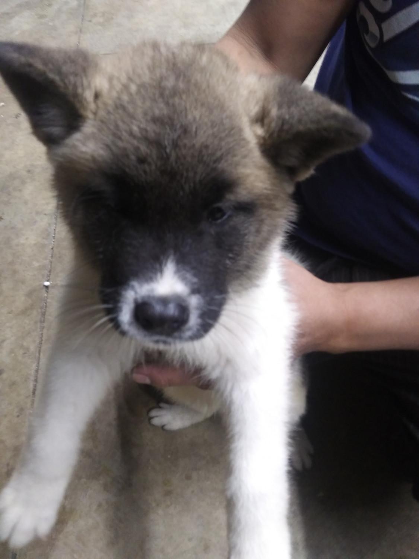 Akita Puppies For Sale Cardington Oh 285035 Petzlover