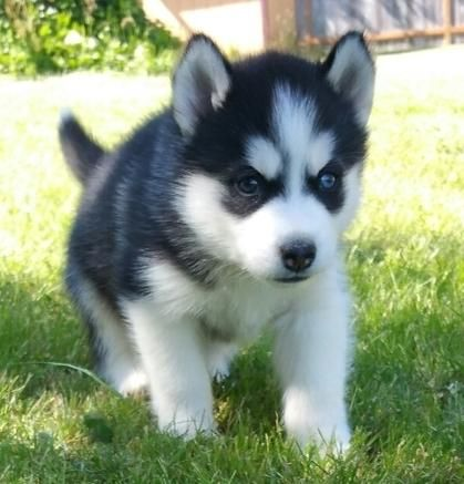Alaskan Husky Puppies For