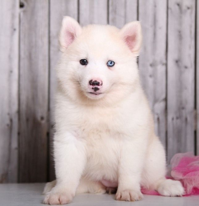 Alaskan Husky Puppies For U S 1