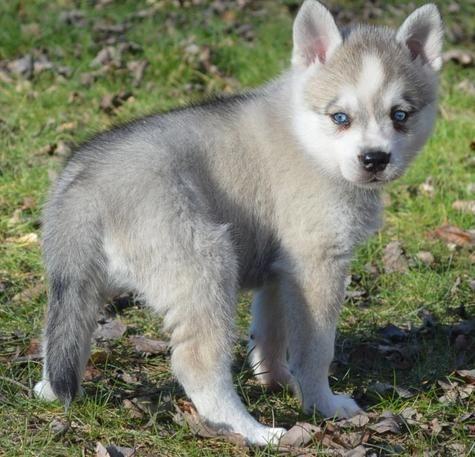 Alaskan Klee Kai Puppies For Sale Denver Co 130227