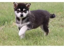 Alaskan Klee Kai Puppies For Sale St Louis Mo 263272