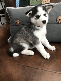 Alaskan Klee Kai Puppies For Sale Dallas Tx 272322
