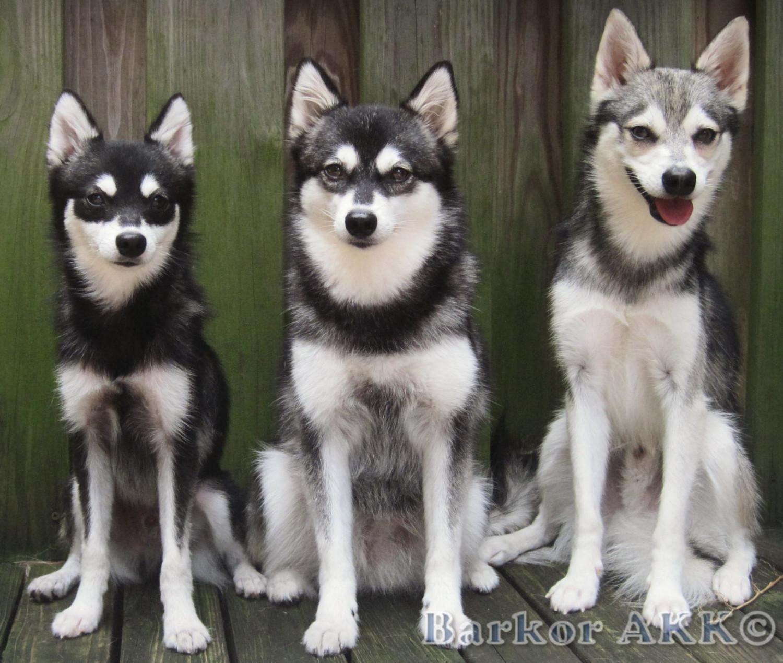 Pomeranian Vs Alaskan Klee Kai Breed
