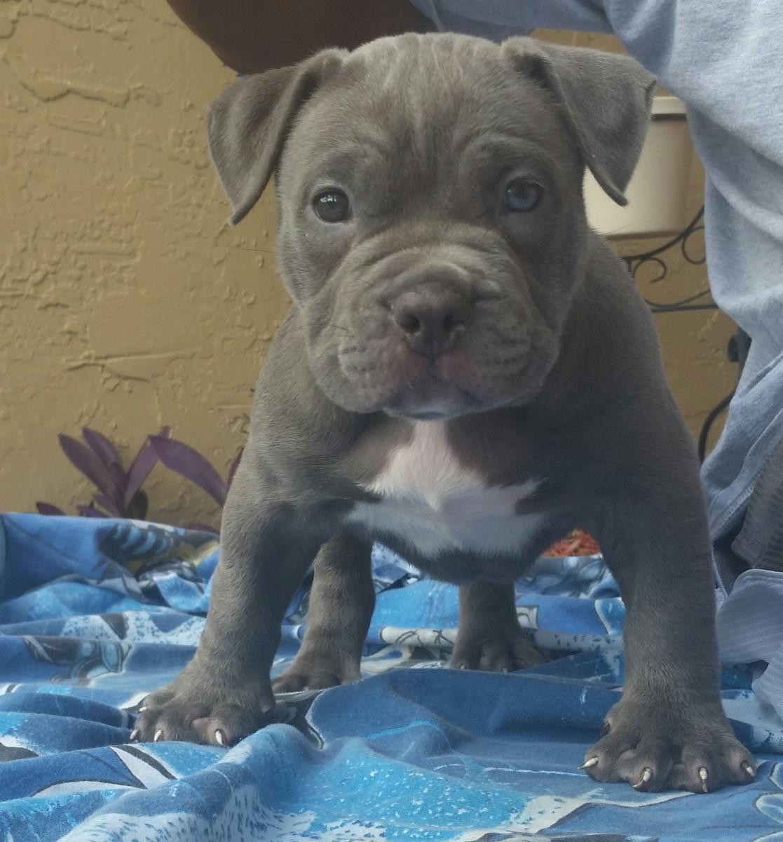 american bulldog cost american bulldog puppies for sale coral springs fl 112318 5484