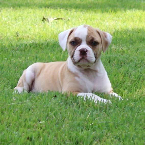 bulldog puppies florida american bulldog puppies for sale jacksonville fl 210050 2534
