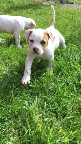 american bulldog puppies for sale in pa american bulldog puppies for sale erie pa 212111 3081