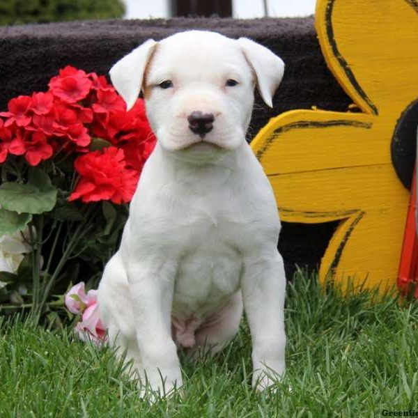 American Bulldog For Sale In Jackson County 1 Petzlover
