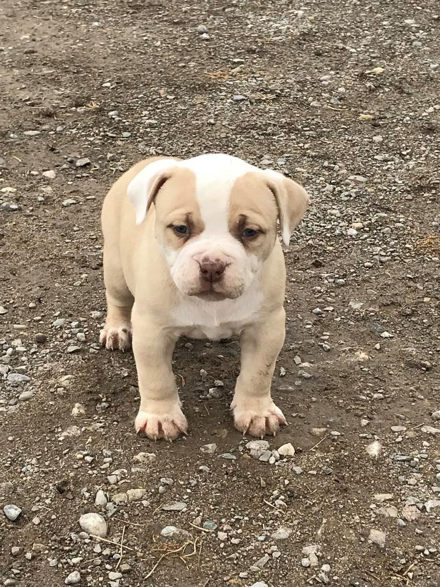 american bulldog puppies for sale in pa american bulldog puppies for sale philadelphia pa 272586 5244