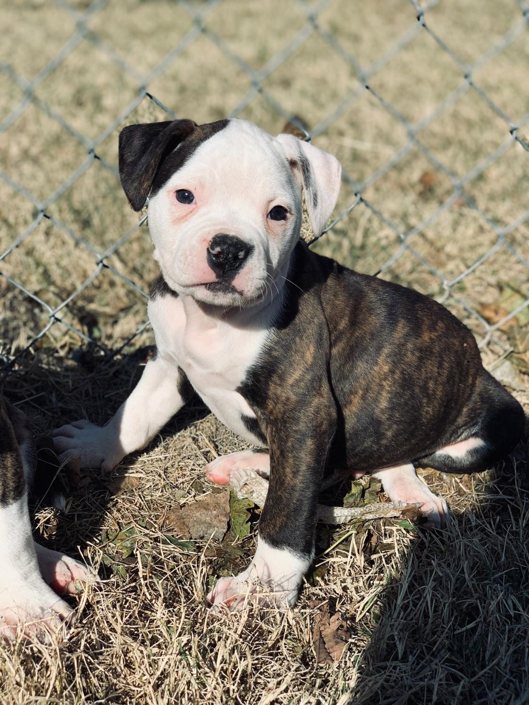American Bulldog Puppies For Sale   Texas