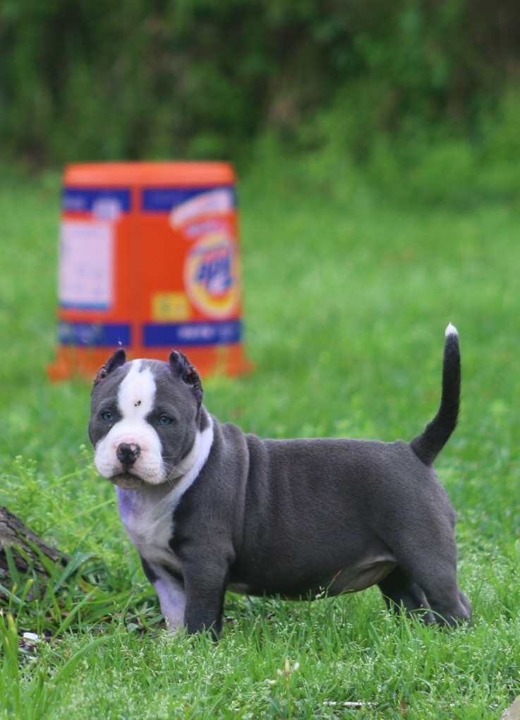 American Bully Puppies For Sale Beaumont Tx 184277