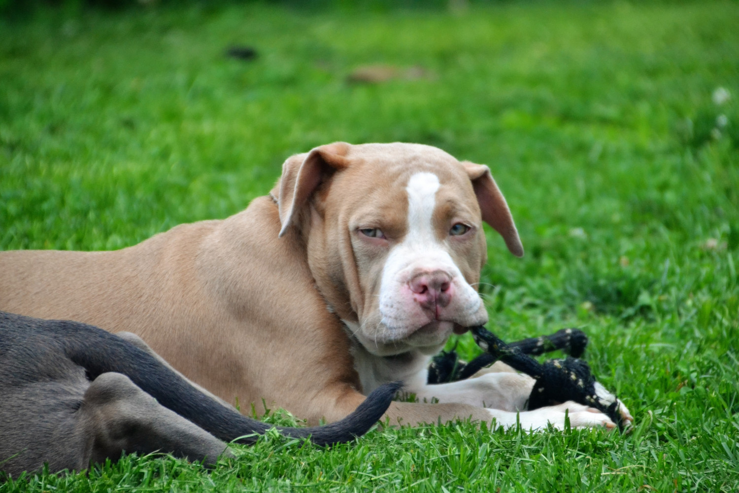 American Bully Puppies For Sale | Danbury, CT #226587