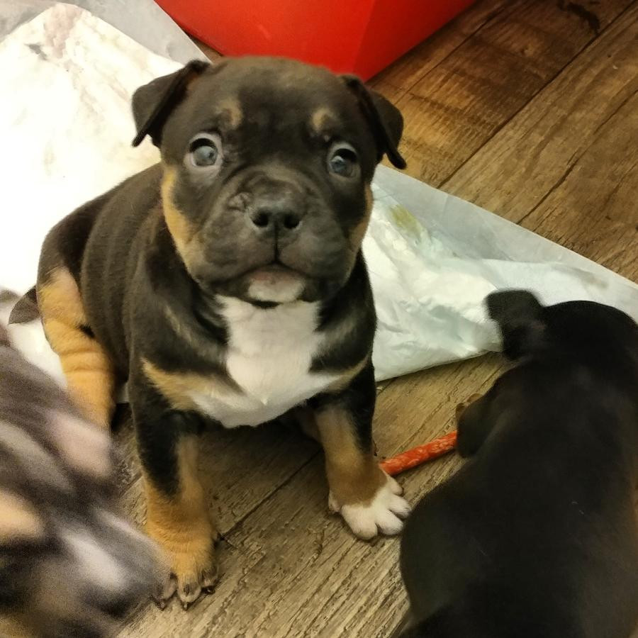 American Bully Puppies For Sale Pittsburgh Pa 244944