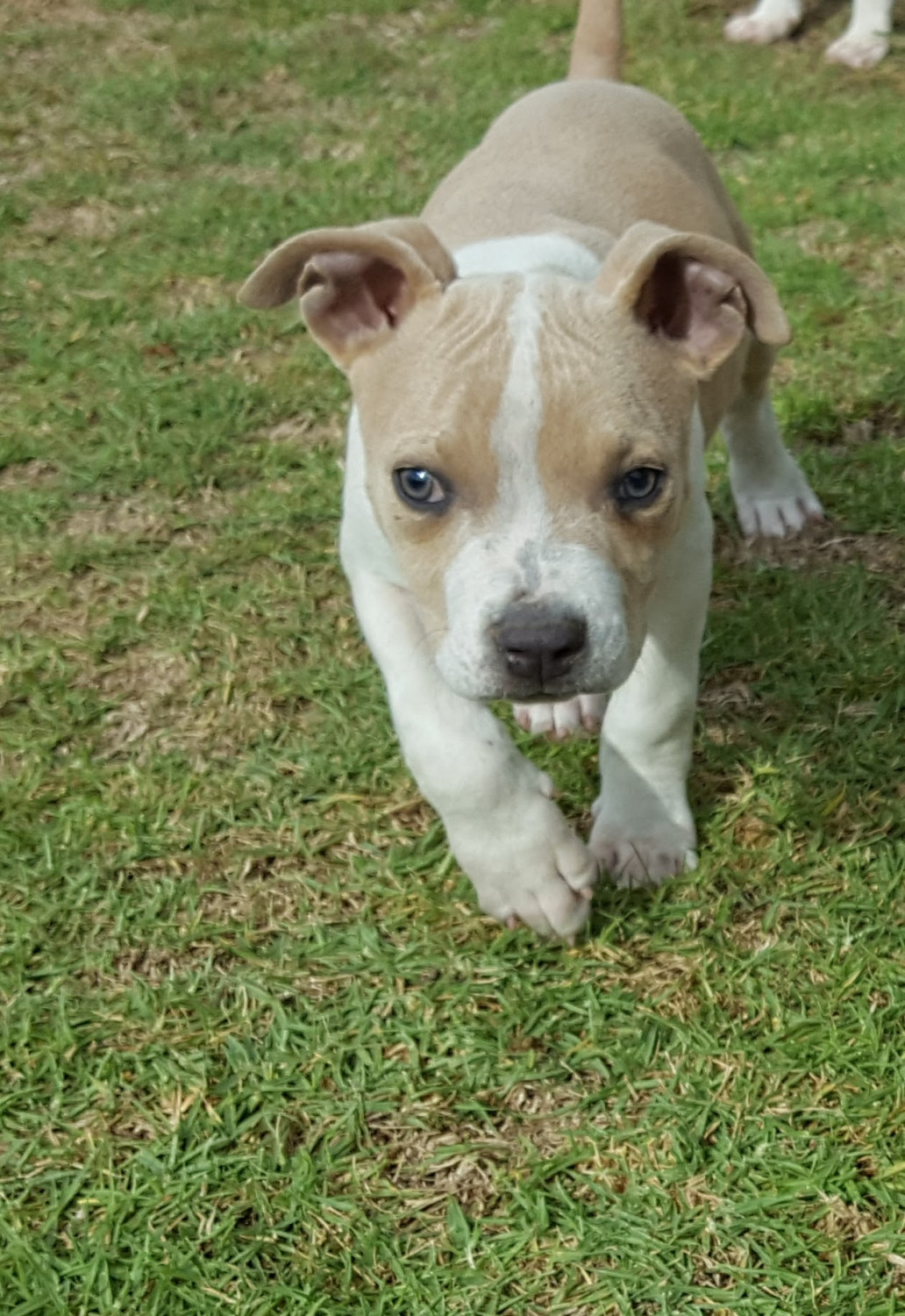American Bully Puppies For Sale | San Diego, CA #252132