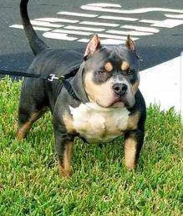 American Bully Puppies For Sale Orlando Fl 260538