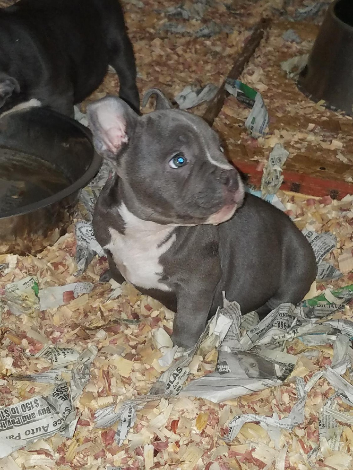 American Bully Puppies For Sale | Houston, TX #268396