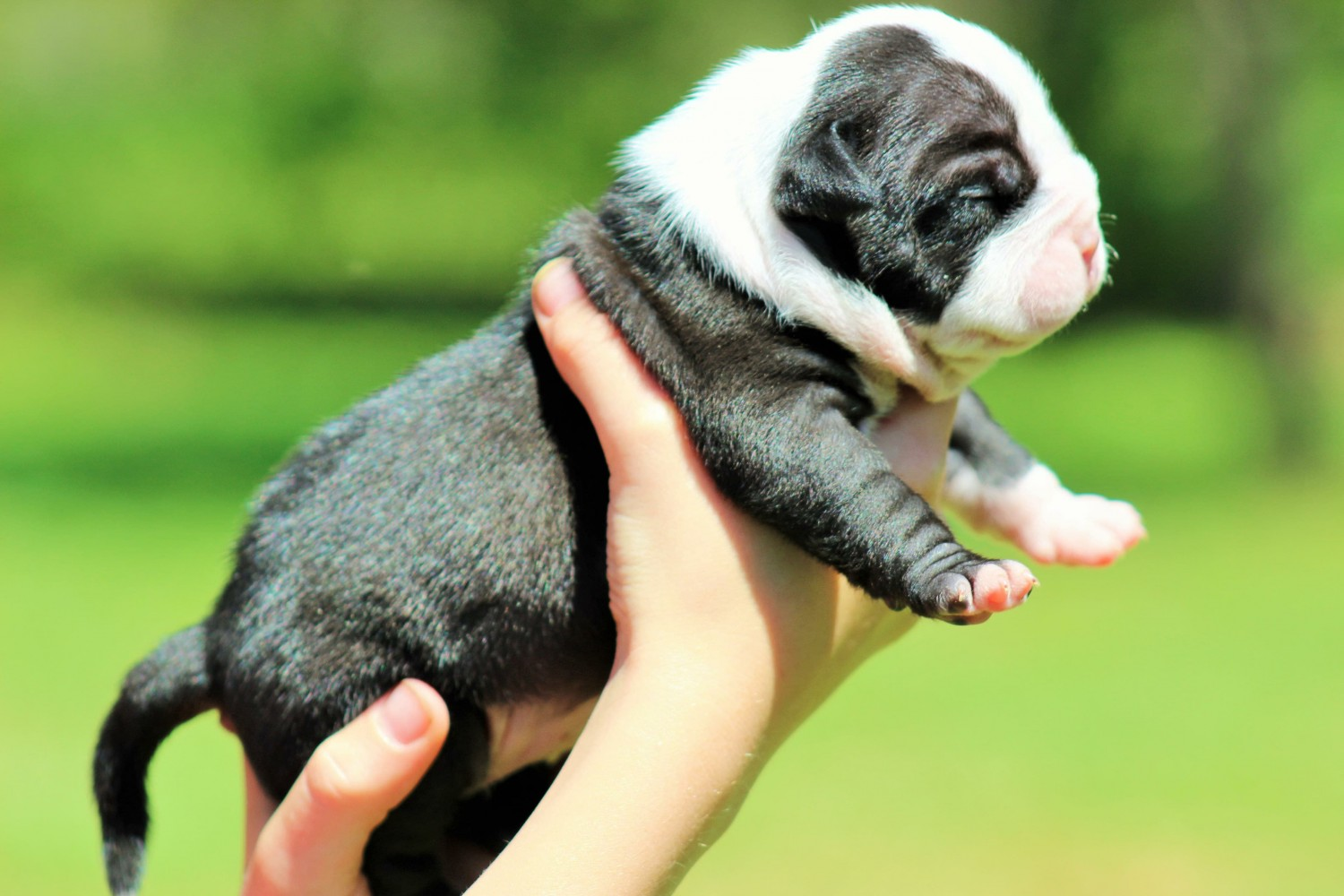 American Bully Puppies For Sale | Mount Airy, NC #276197