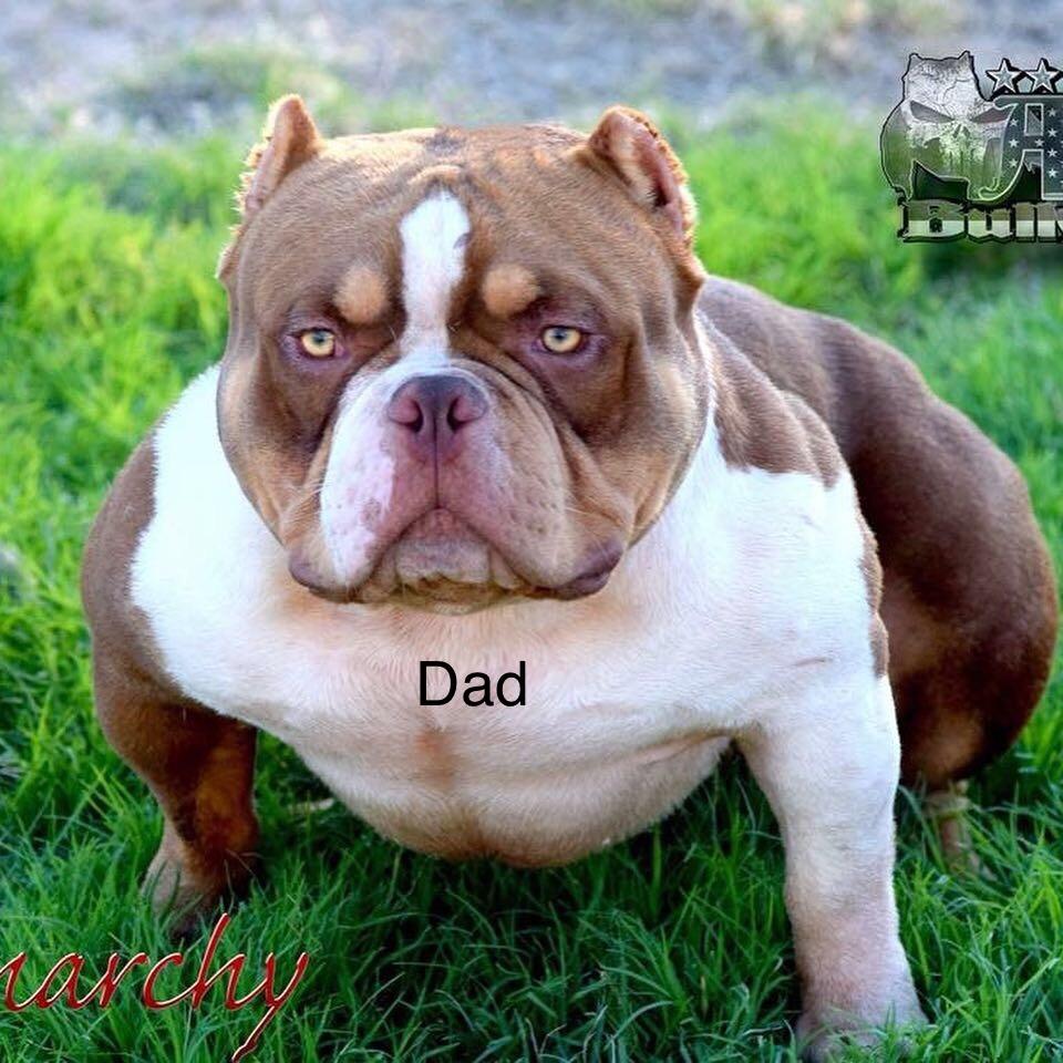 American Bully Puppies For Sale | Modesto, CA #287105