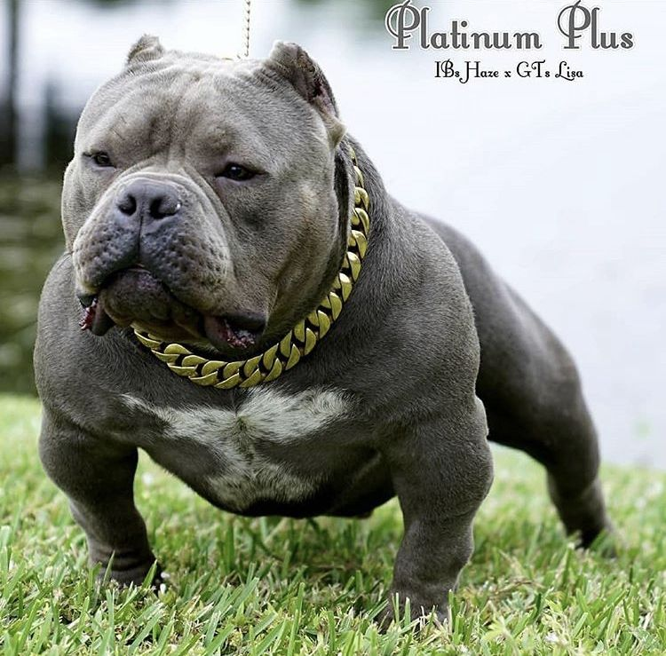 American Bully Puppies For Sale | Miami, FL #288938
