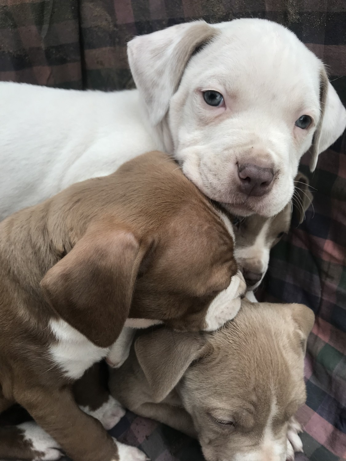 american bully puppies for sale in texas