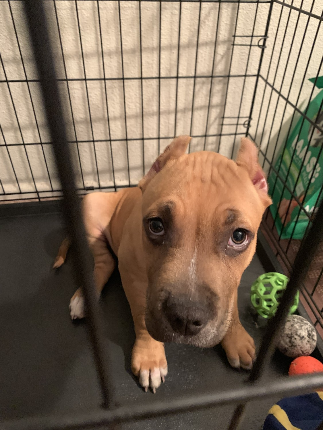American Bully Puppies For Sale | Thousand Oaks Boulevard
