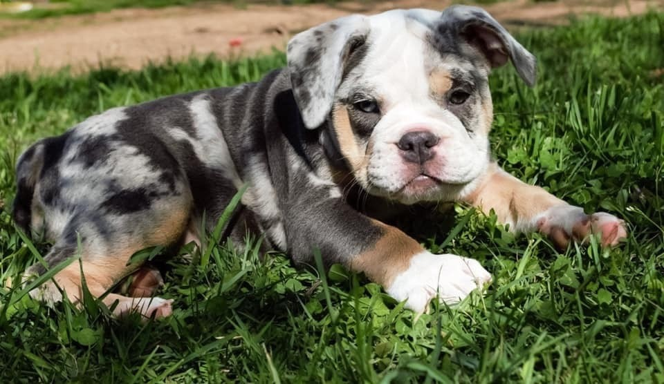 American Bully Puppies For Sale Winchester Va 306968