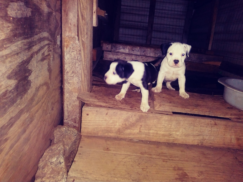 American Bully Puppies For Sale Newnan Ga 310252