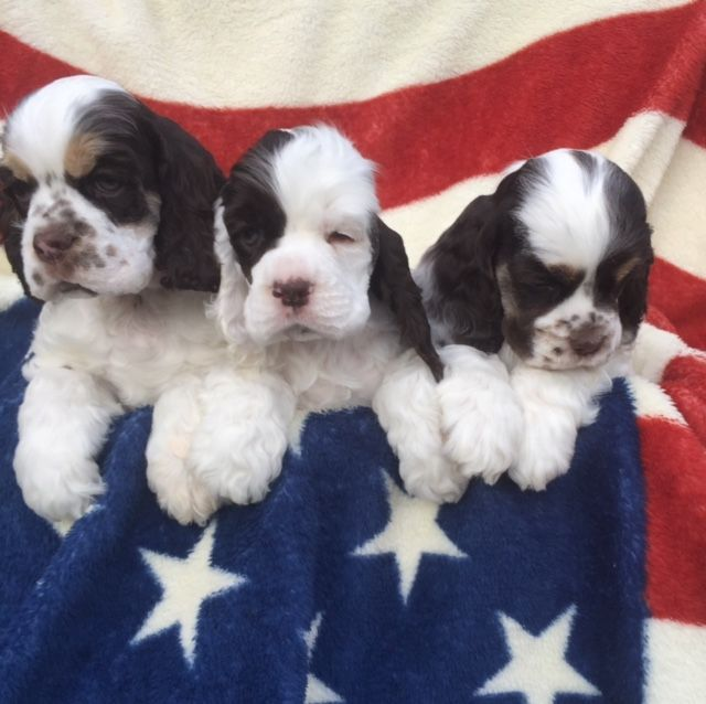 cocker spaniel puppies for sale in texas american cocker spaniel puppies for sale texas avenue 2588