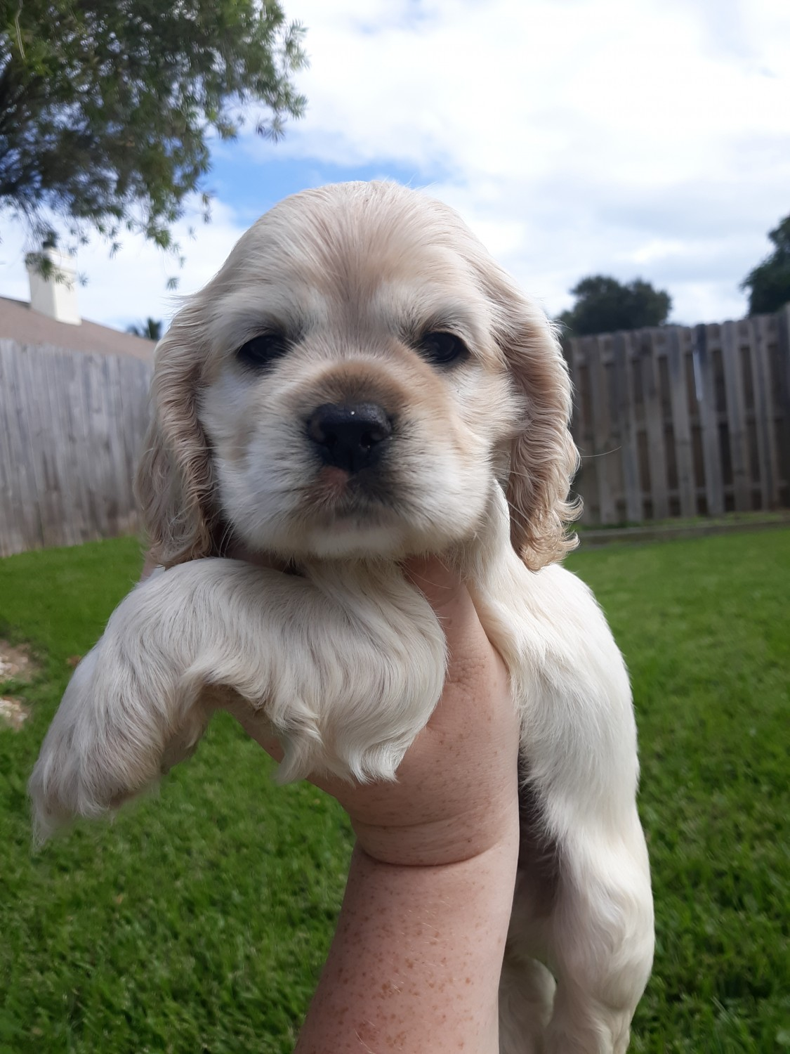 Gorgeous Cocker Spaniel Puppy For Sale In Wales UK