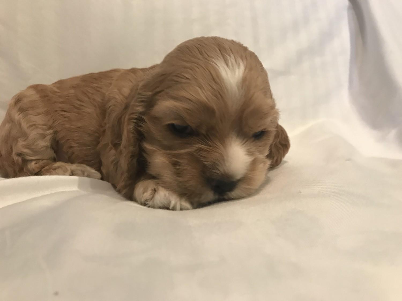 American Cocker Spaniel Puppies For Sale In Romania