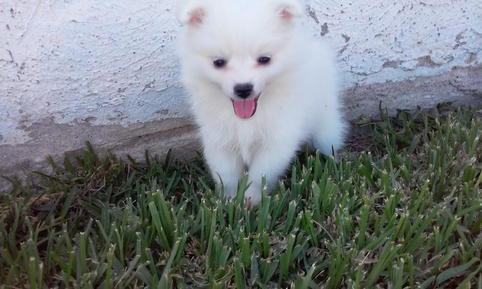 American Eskimo Dog Puppies For Sale Garden Grove Ca 74855