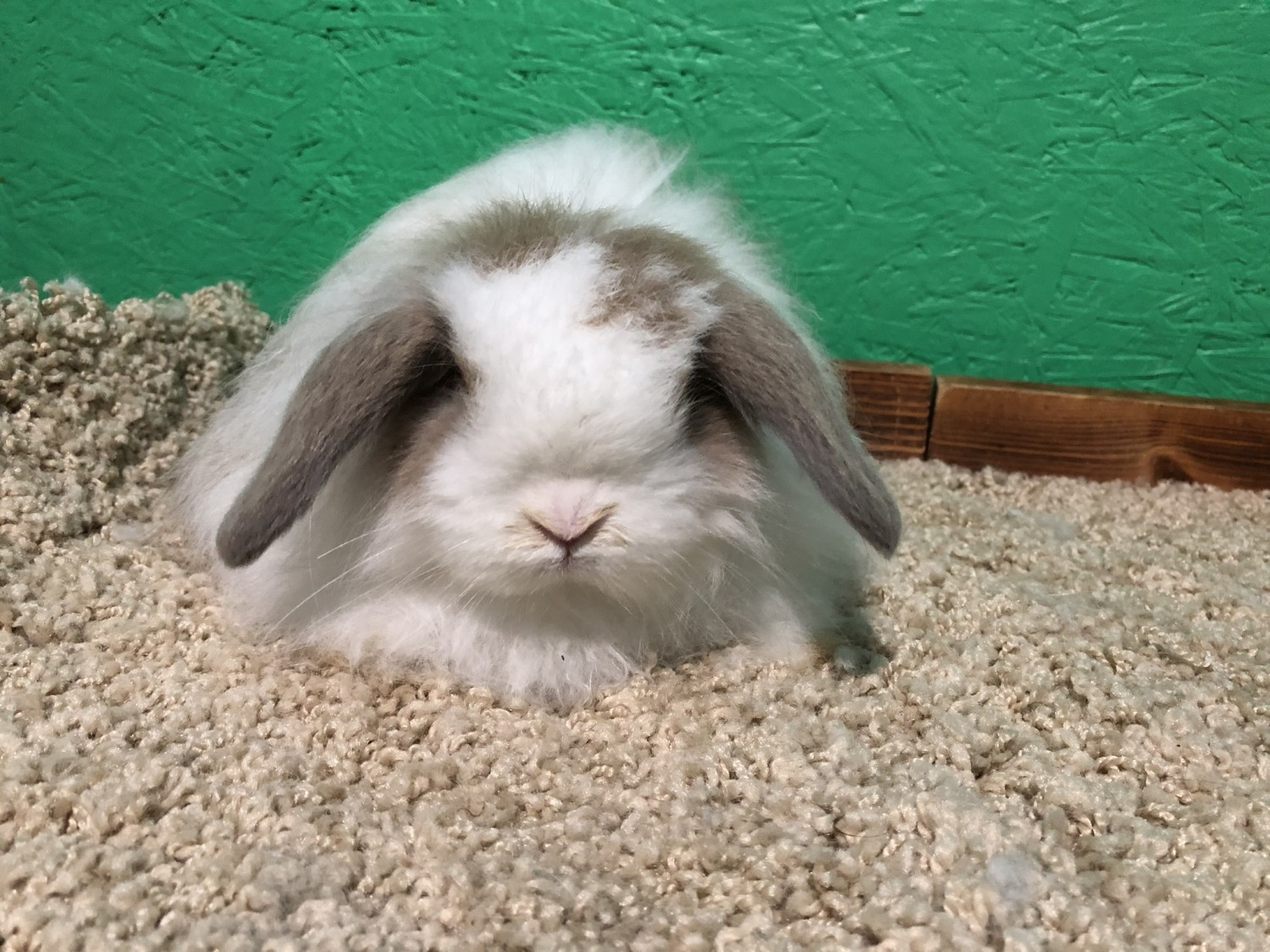 American Fuzzy Lop For Sale 8 Petzlover
