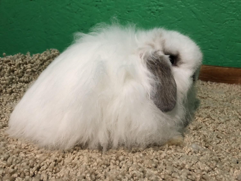 American Fuzzy Lop Rabbits For Sale Lake Orion Mi 285758