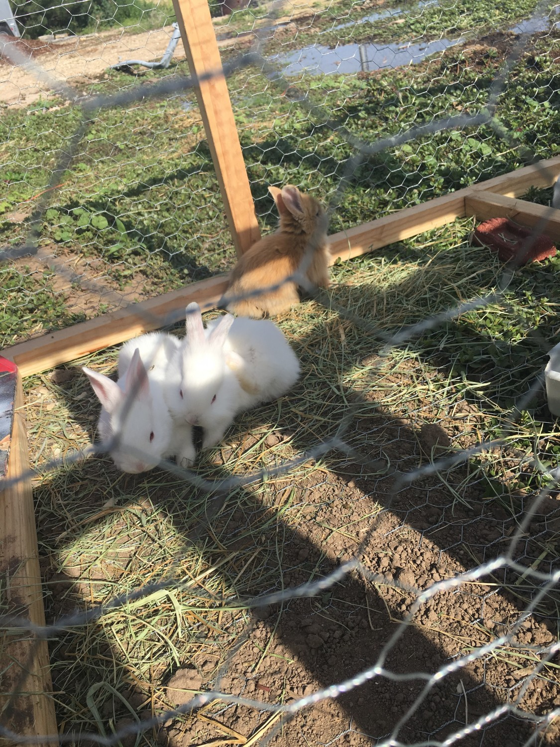 American Fuzzy Lop Rabbits For Sale Middleton Id 300297