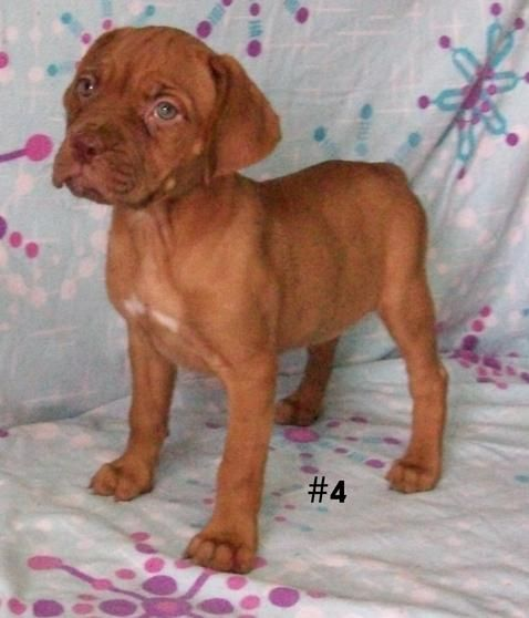 American Mastiff Puppies For Sale Los Angeles Ca 100835